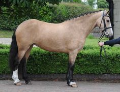 Irish Sport horse mare.