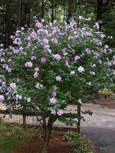 How to Prune a Rose of Sharon Bush to Create a Rose of Sharon Tree