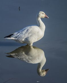 Reflecting On The Snow Goose