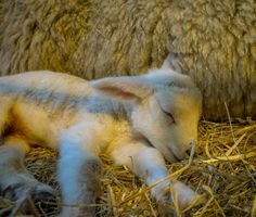 A newborn lamb sleeps beside its mother during Sparsholt College Lambing Weekiend | Flickr - Photo Sharing!