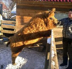 Mangalica in Siberia (oh look - a wooly pig!)