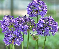 Lily of the Nile (Agapanthus). Love these flowers. They were everywhere when we went to CA