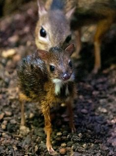 The mouse deer is the smallest hoofed animal in the world. (Look at it's tiny little hooves!! :D)