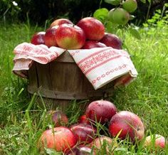 Slightly underripe apples that fall to the ground must be picked up, so why not cut away the bugs and bruises and put them to good use