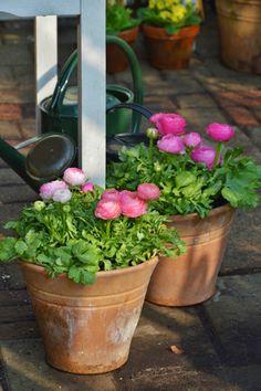 Ranunculus In Pots Flowers Ranunculus Centerpiece, Ranunculus Wedding Bouquet, Ranunculus Boutonniere, White Ranunculus, White Peonies, Wedding Flowers, Pot Jardin, Terracota, Plantation