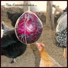 Securely tie sturdy string around a cabbage and hang it securely at chicken eye level for hours of swinging fun!
