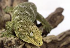 Photo by Tamara Locke Leachie Gecko, Crested Gecko, Cute Creatures, Beautiful Creatures, Animals Beautiful, Reptile Cage, Reptile Enclosure, Animals And Pets, Baby Animals