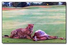 Not what you want to see on a golf course. Skukuza Golf Course in South Africa, wear Lions, Leopards, and Crocodiles roam.