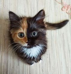 "Meet Yana, the two-faced cat! This fascinating feline has cells from different zygotes, resulting in a unique coloring and ""two-faced"" appearance. Pretty Cats, Beautiful Cats, Animals Beautiful, Beautiful Pictures, Gorgeous Eyes, Wonderful Images, Beautiful Flowers, Cute Cats And Kittens, Baby Cats"