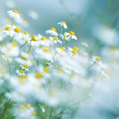 sea of camomile