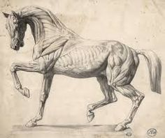 Very cool comparative picture between front limb muscles in a horse ...