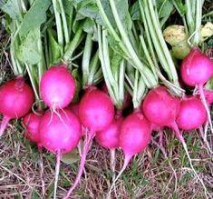 Runåbergs fröer -  Pink Beauty