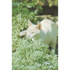 Add Catnip/Catgrass/Catmint to your container herb garden