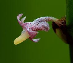 Ceratostylis sp. Photo by © Art Vogel