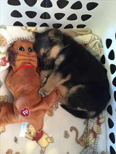 GSD Puppy: Awwww... Come on.... This is just 2 cute!