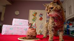 Poppy, the world's oldest cat, died on June 6, 2014, at the age of 24. Housecats live to the age of 15 on average.