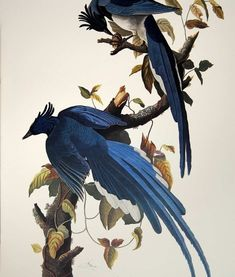 """Columbia Jay or Magpie"", originally designed & published for John James Audubon's Birds of America, Plate #96."