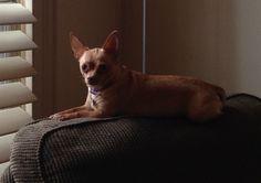 Lulu, my model Chihuahua!