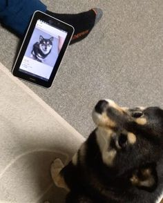 """Aco's Instagram (Shiba Inu) Whatching Her own video for """"Pen Pineapple Apple Pen"""""""