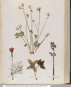 Botanical specimens pressed, taped and labelled on pages from the famous poet, Emily Dickinson's journal!