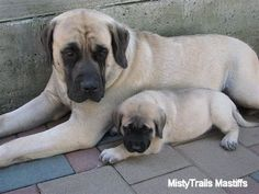 Alice the female Mastiff puppy at 7 weeks with her mother, Sassy - Courtesy of MistyTrails Mastiff's