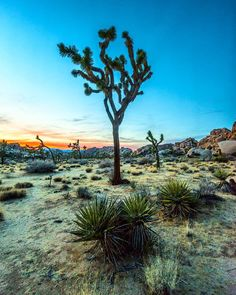 The most unique (and amazing) sunsets in America might be in a little slice of heaven just north of Palm Springs CA called Joshua Tree National Park. Just pull off the road an hour before sundown put some dirt under your souls and you'll have your own private show that you won't soon forget. #camp4pix by timkemple
