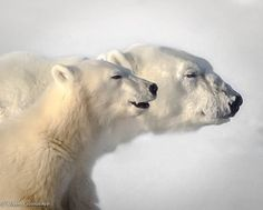 ICE BEARS Profile