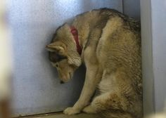Another beautiful dog and breed who's spirit is broken from a short stay at Dog's Day Inn. Wait until she arrives at DEVORE Wednesday and is thrown into that insanity. at DEVORE, just another number. Her's is 543339. Spring Valley Lake 2 miles from DDI...Dog's Day Inn - Call (760) 961-7535 - 19575 Bear Valley Road, Apple Valley, CA (across from Sonic Drive In)>>>>Her ID 543339<<<<< info suggests 5 years old. ADOPTED INTO PRIVATE HOME>
