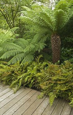 Tree ferns and ferns create essential Tropical look, and they thrive in some sha.