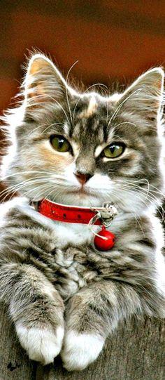 Christmas kitty...