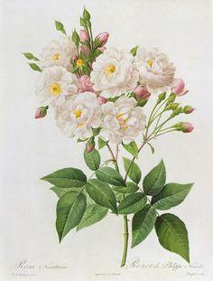 pierre joseph redoutè: rosa noisettiana