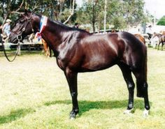 Australian Stock Horse Stallion Montcalm Luke