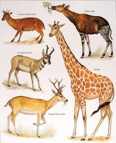 Northern Pudu Giraffe Pronghorn Pampas Deer by mysunshinevintage