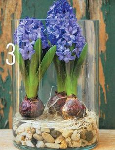 forcing hyacinth step 3