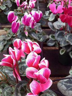 cyclamen( great cool weather plant)  performs well outdoors in winter