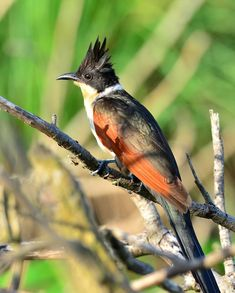 Chestnut-winged Cuckoo
