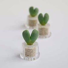 BooBoo Plant