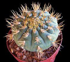 Gymnocalycium euryplorum