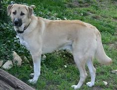 If your livestock need watching over, consider getting an Anatolian Shepherd dog. They aren't herding dogs, but have the instinct to protect their charges. Anatolian Shepherd, Coban, Dog Breeds Pictures, Dog Photos, Puppy Pictures, Herding Dogs, Purebred Dogs, Cairn Terrier, Fox Terrier