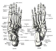 Foot Anatomy Bones FA03