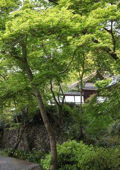 奈良市 正暦寺 新緑 シャガ