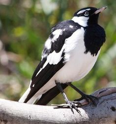 Magpie-lark (Grallina cyanoleuca) is a conspicuous Australian bird of small to medium size, also known as the mudlark in Victoria and Western Australia, the Murray magpie in South Australia, and as the peewee in New South Wales and Queensland. It had been relegated to a subfamily of fantails in the family Dicruridae (drongos), but has been placed in a new family of Monarchidae (monarch flycatchers) since 2008.