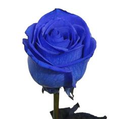 Tinted Blue Roses are a rare and eye-catching fresh cut flower. Each rose is hand tinted and guaranteed add beauty to any wedding bouquet, table centerpiece or flower arrangement.