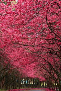 Wouldn't you LOVE to walk down this pink lane? #pink #street #lane #pinktrees