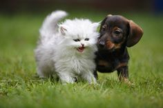Dackel-Welpe und Katzenbaby