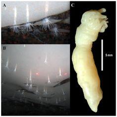 PLOS ONE: Edwardsiella andrillae, a New Species of Sea Anemone from Antarctic Ice Human Environment, Undersea World, Sea Anemone, Sea Ice, Science Photos, Science Articles, Animal Species, Sea Creatures, Antarctica