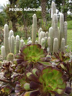Aeonium and Cleistocactus, Visconde de Mauá BOTANICA POP 2008