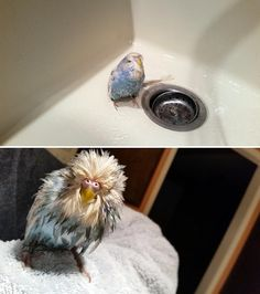 Budgie bath before and after. My parakeet likes to dip herself in her water dish and her head ends up looking like this!