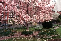 Japanese Magnolia tree