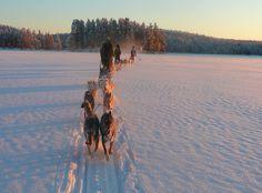 Finlande - raid en traineau à chiens dans le parc de Hossa